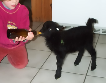 A lamb Ushant bottle feeding