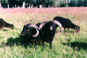 Characteristic attitude of the males sheeps