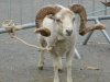 belier-blanc-concours-national-mouton-ouessant-2003