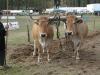 attelage-boeufs-nantais-concours-national-mouton-ouessant-2004