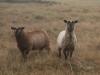 moutons-visibles-actuellement-sur-ile-ouessant