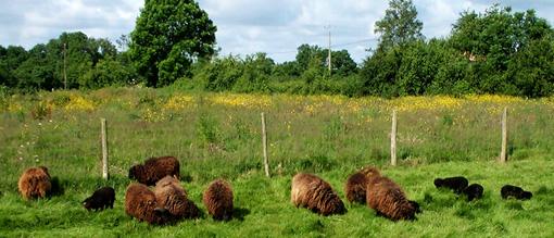 Le cheptel de moutons d'ouessant de Gilles Delorme - 2003