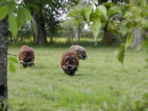 Les béliers écartés du troupeau à la période de reproduction