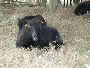 La rumination du mouton d'ouessant