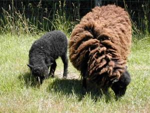 Brebis d'Ouessant avec son agneau