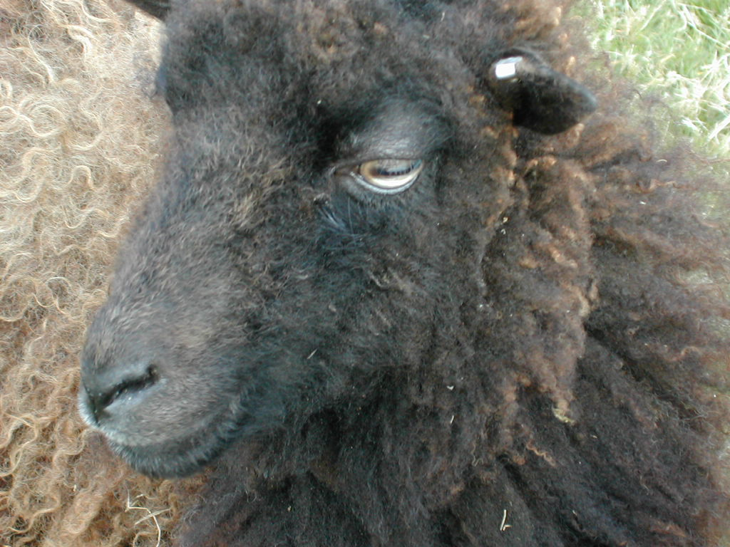Oreille tatouée d'un mouton