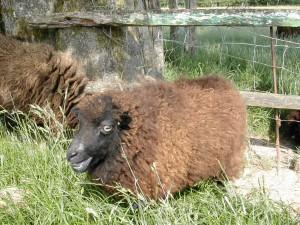 Les mères s'inquiètent et bêlent lorsque le petit agneau s'éloigne...