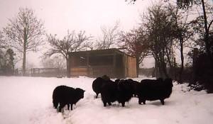 Cheptel de moutons d'Ouessant sous la neige