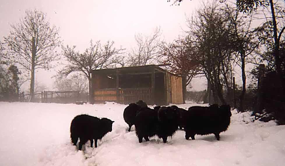 cloture electrique mouton ouessant