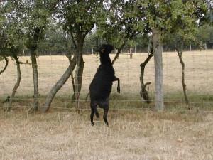 Sécheresse de l'été 2003 : des acrobaties pour manger quelques feuilles vertes...