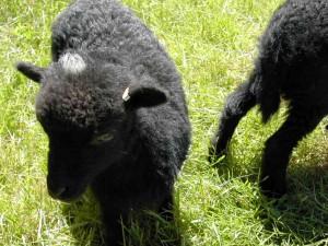 Toupet blanc sur la tête d'un mouton d'ouessant